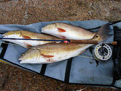 A limit catch of redfish