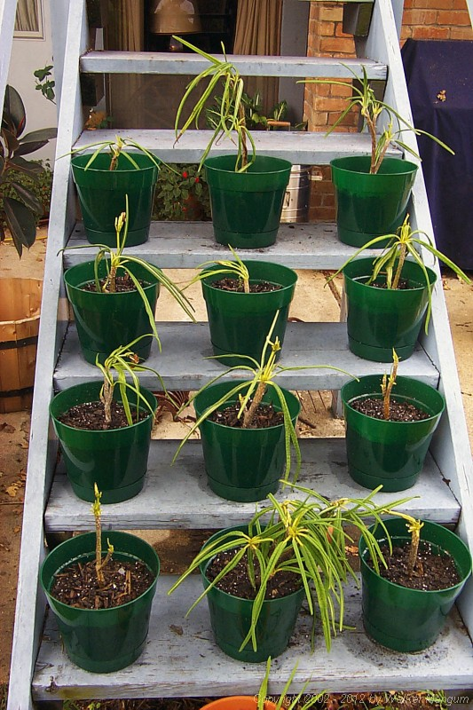 Back at home: our potted Anegada frangipani cuttings. We also brought back passion fruit seeds.