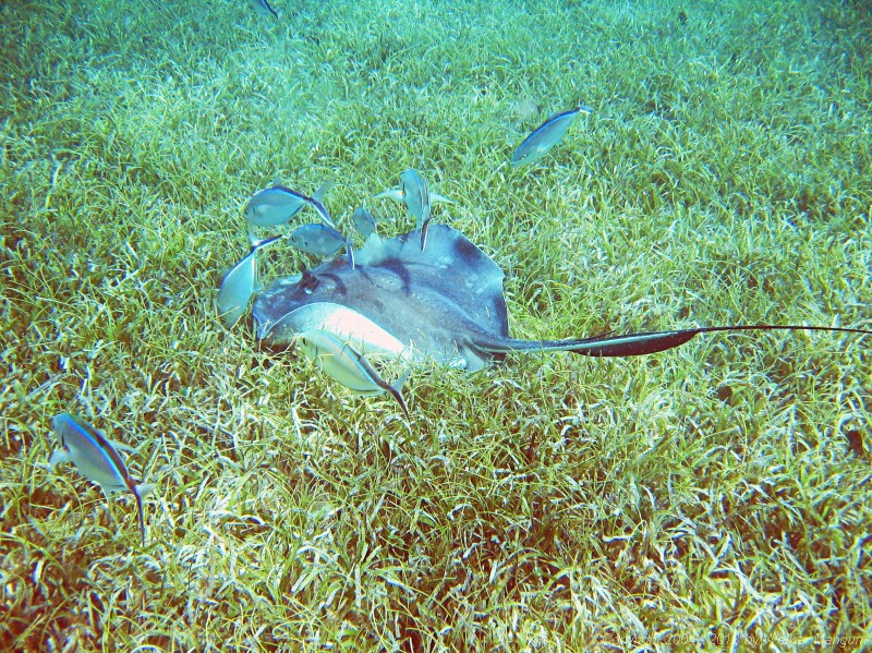 Snorkeling in Manchioneel Bay - a nice stingray.