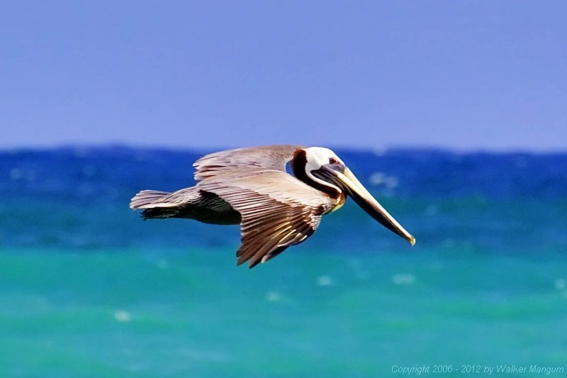 Pelican at Cow Wreck Beach.