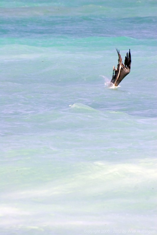 Pelican trick: posing as a piece of coral.