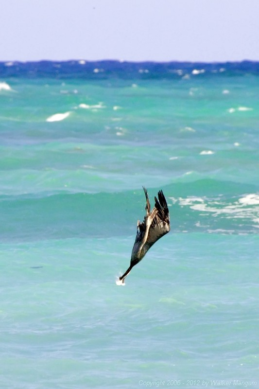 Another graceful entry in the diving competition at the pelican olympics.