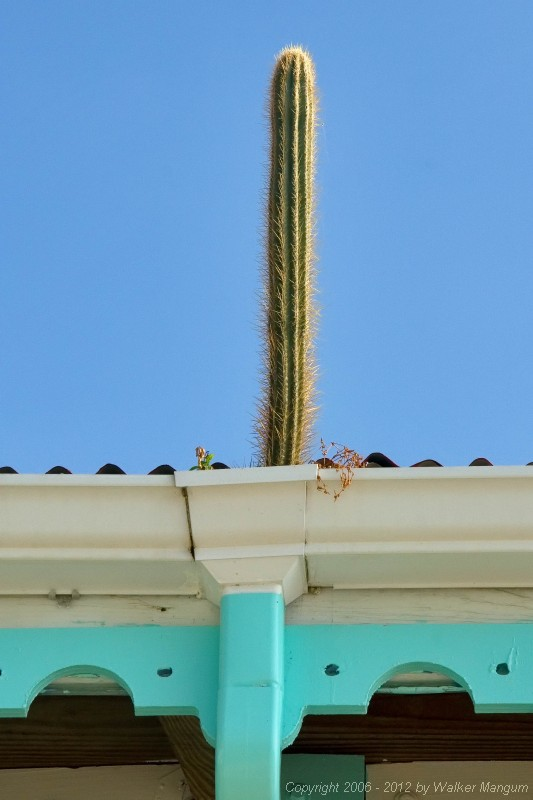 Cactus growing in gutter at Pusser's Marina Cay.