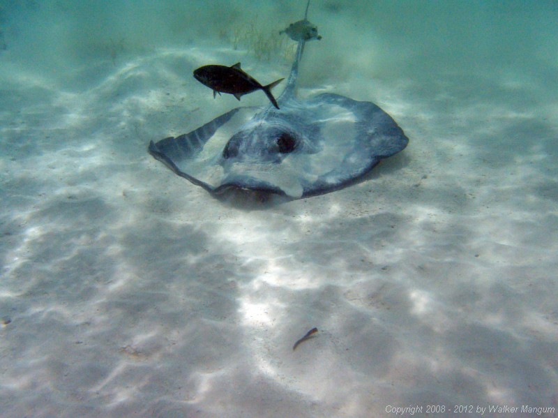 Sting ray in front of Hidden Treasure.