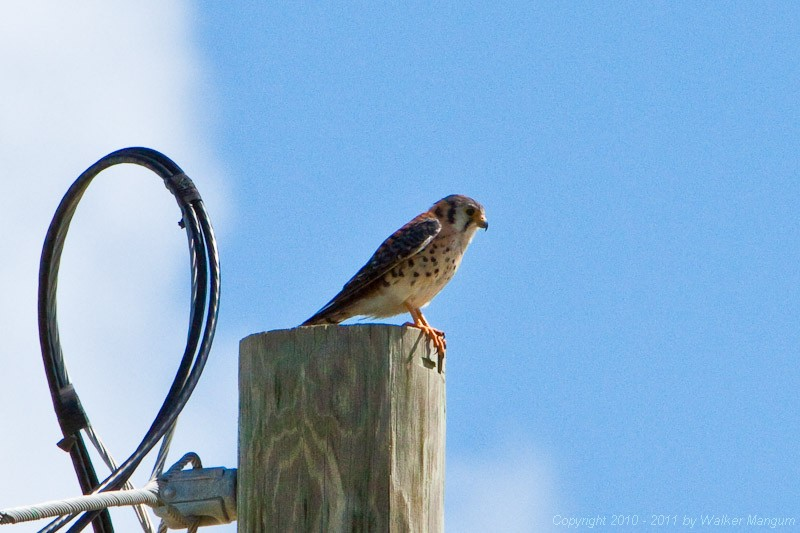 One of our resident kestrels. This is the male of the pair.