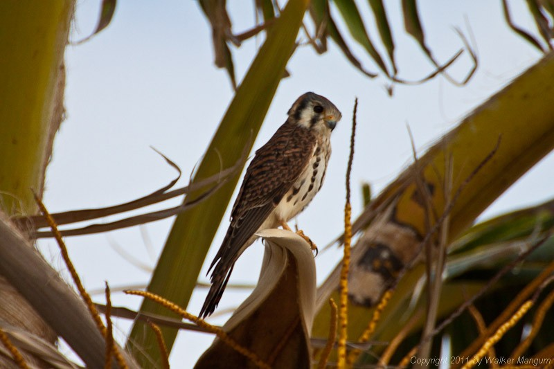 Male kestrel in a coconut tree.